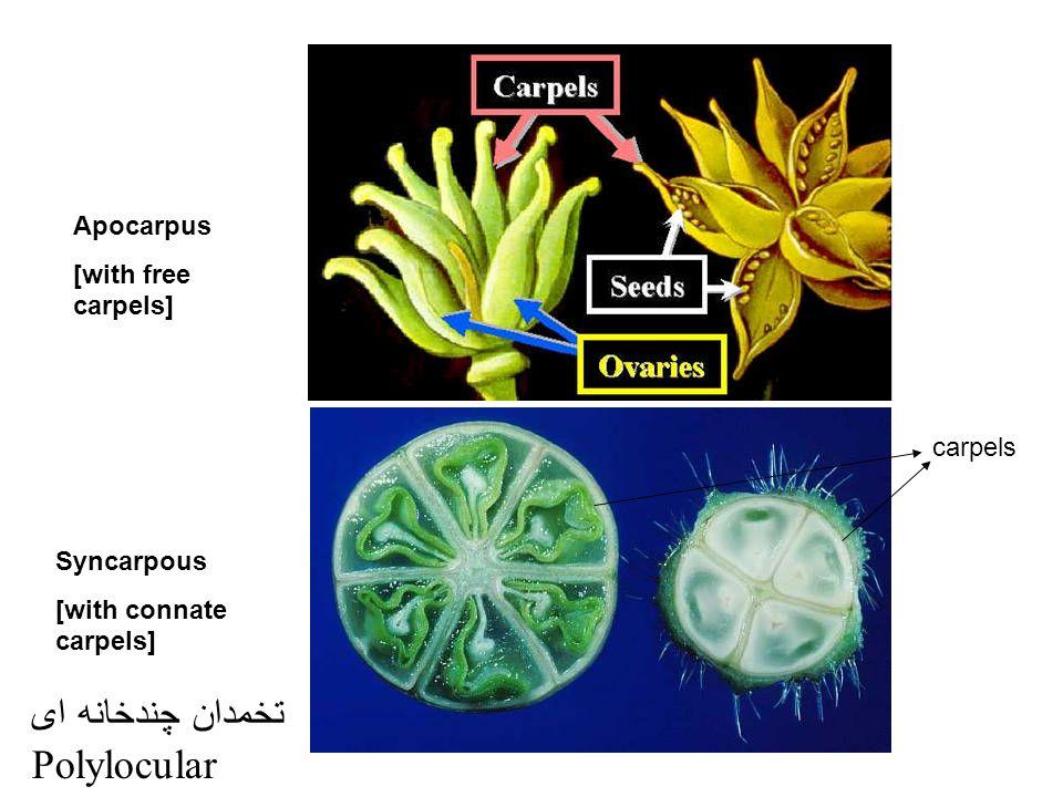 تخمدان چندخانه ای Polylocular Apocarpus [with free carpels] carpels